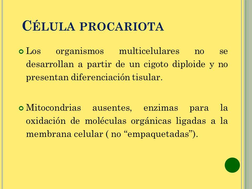 C ÉLULA PROCARIOTA Los organismos multicelulares no se desarrollan a partir de un cigoto diploide y no presentan diferenciación tisular. Mitocondrias