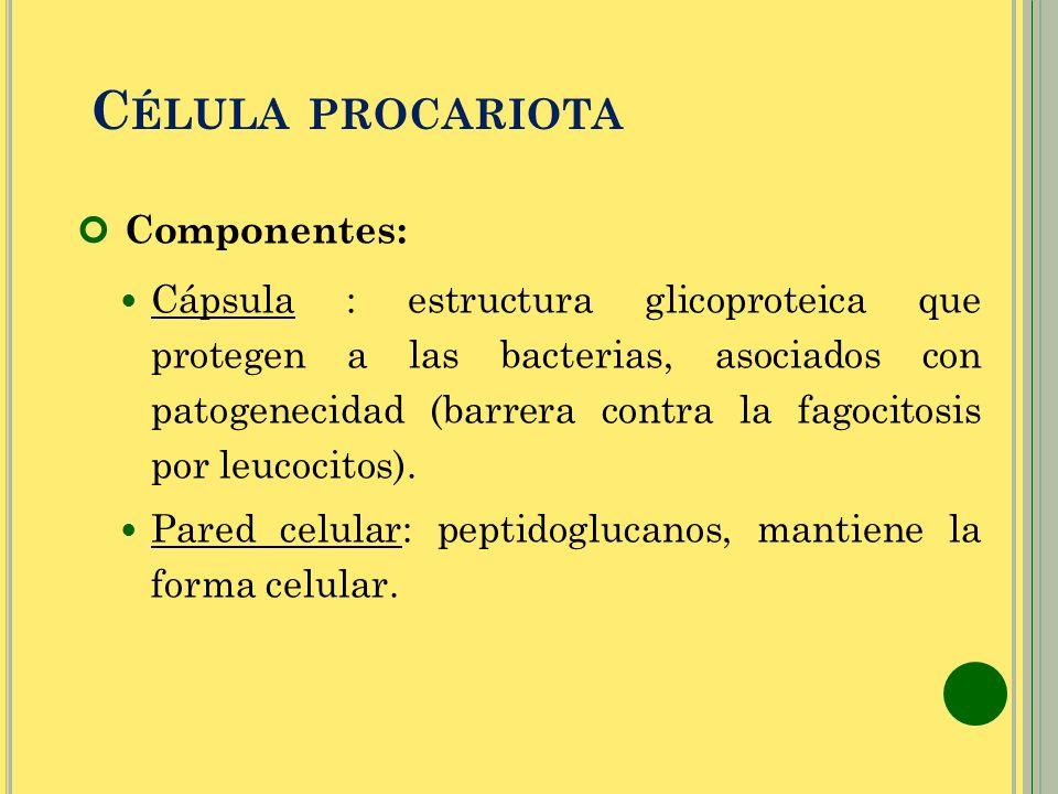 C ÉLULA PROCARIOTA Componentes: Cápsula : estructura glicoproteica que protegen a las bacterias, asociados con patogenecidad (barrera contra la fagoci