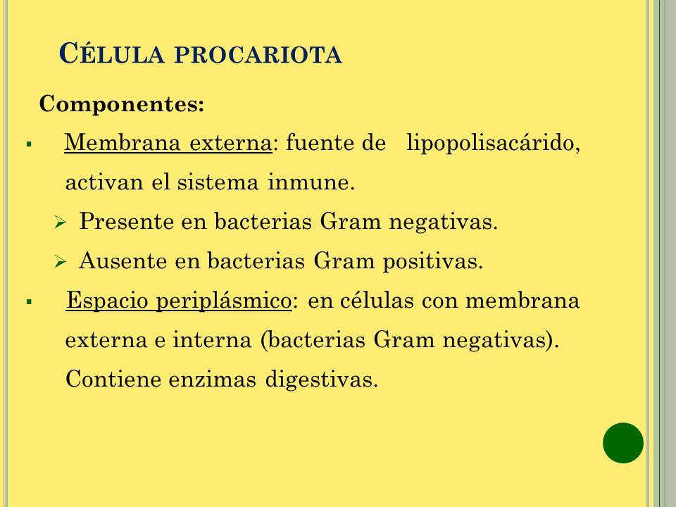 C ÉLULA PROCARIOTA Componentes: Membrana externa: fuente de lipopolisacárido, activan el sistema inmune. Presente en bacterias Gram negativas. Ausente