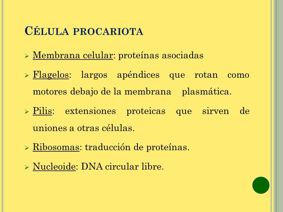C ÉLULA PROCARIOTA Membrana celular: proteínas asociadas Flagelos: largos apéndices que rotan como motores debajo de la membrana plasmática. Pilis: ex