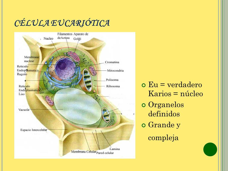CÉLULA EUCARIÓTICA Eu = verdadero Karios = núcleo Organelos definidos Grande y compleja