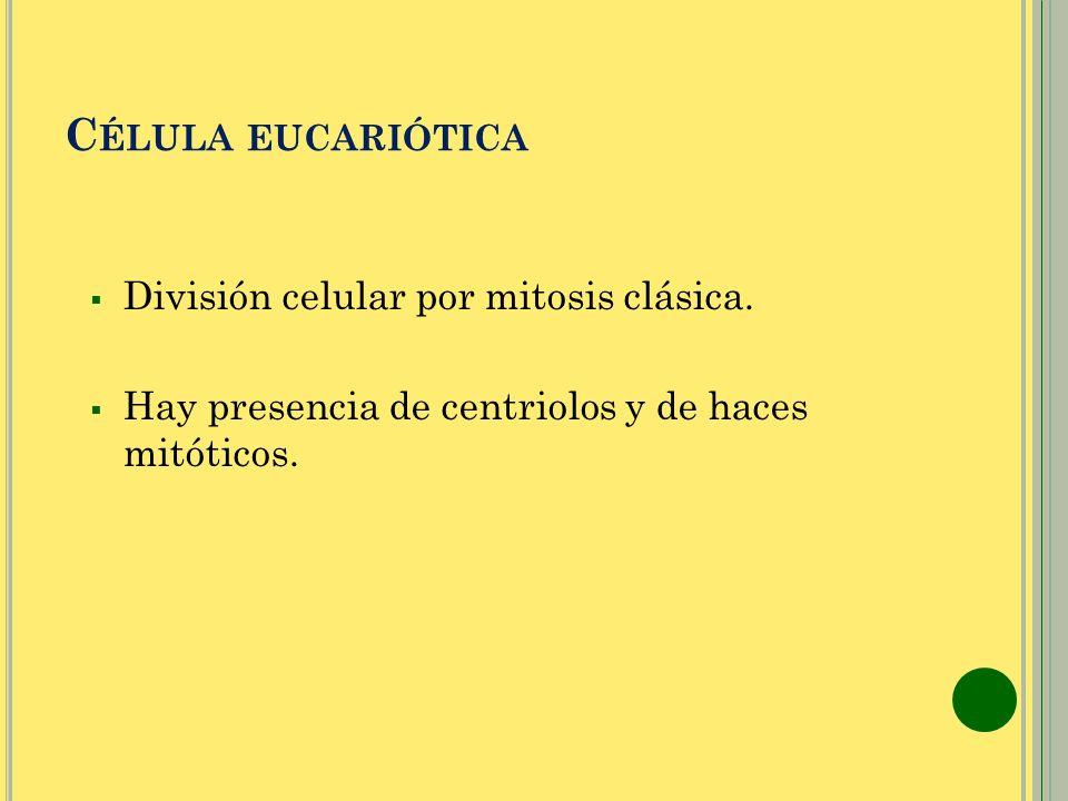 C ÉLULA EUCARIÓTICA División celular por mitosis clásica. Hay presencia de centriolos y de haces mitóticos.
