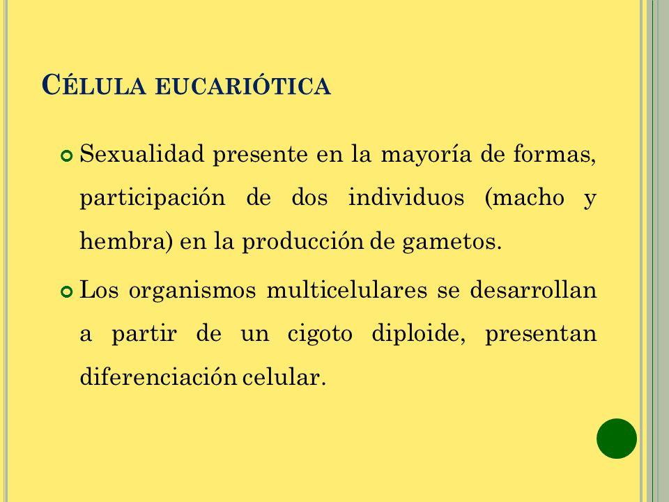 C ÉLULA EUCARIÓTICA Sexualidad presente en la mayoría de formas, participación de dos individuos (macho y hembra) en la producción de gametos. Los org