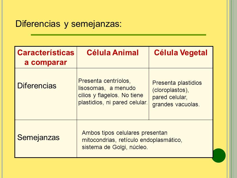 Características a comparar Célula AnimalCélula Vegetal Diferencias Semejanzas Presenta centríolos, lisosomas, a menudo cilios y flagelos. No tiene pla