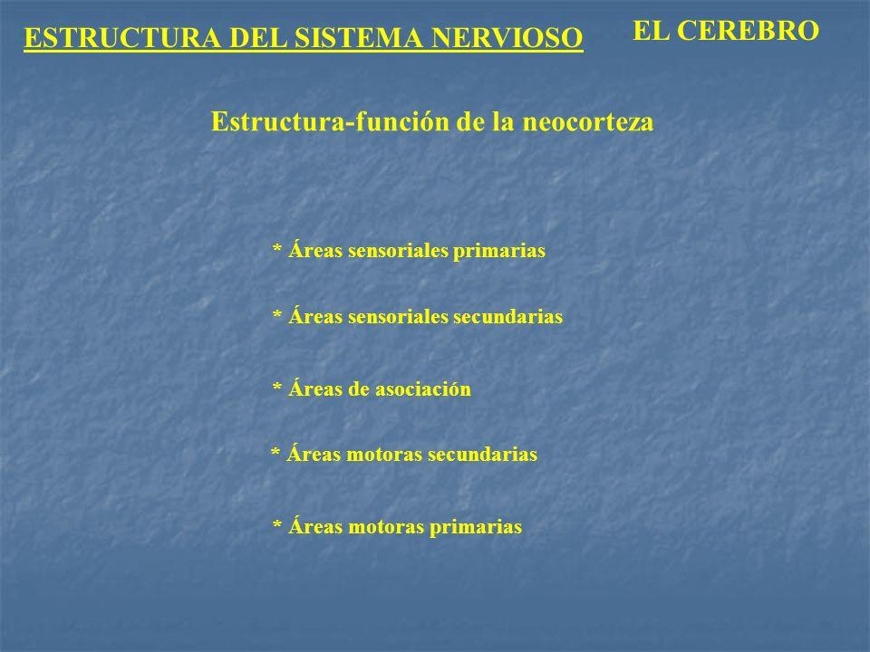 ESTRUCTURA DEL SISTEMA NERVIOSO EL CEREBRO * Áreas sensoriales primarias * Áreas de asociación * Áreas sensoriales secundarias * Áreas motoras primari