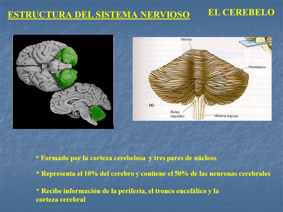ESTRUCTURA DEL SISTEMA NERVIOSO EL CEREBELO * Formado por la corteza cerebelosa y tres pares de núcleos * Representa el 10% del cerebro y contiene el