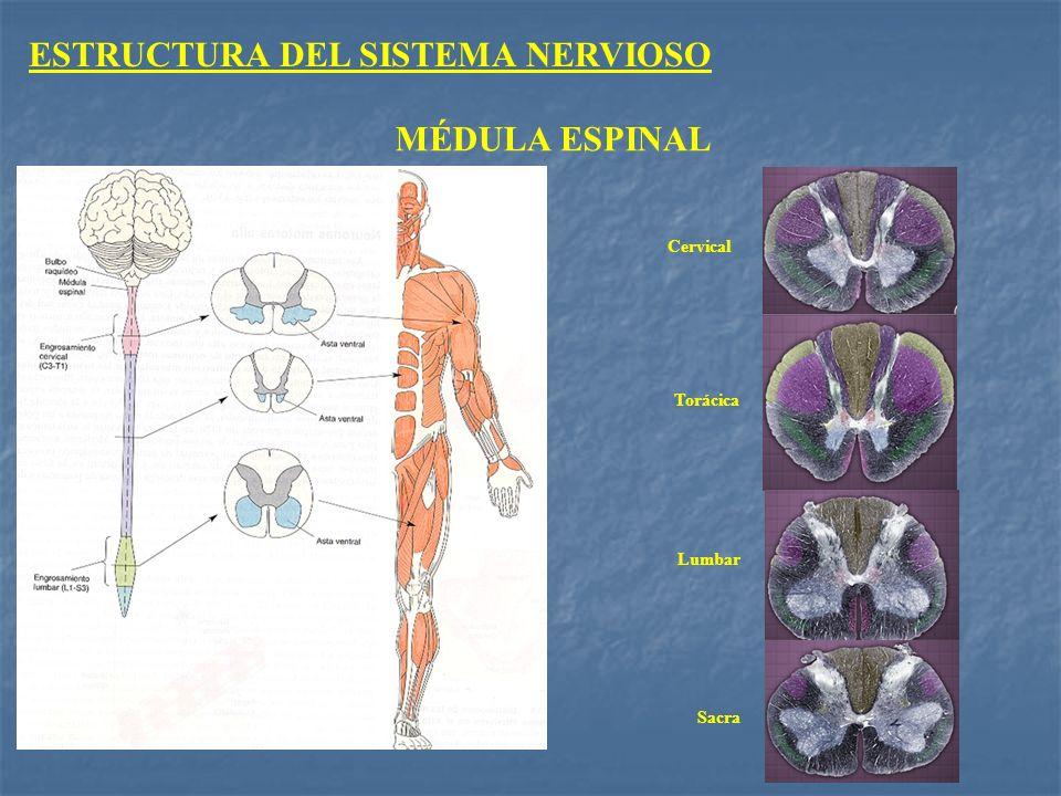 MÉDULA ESPINAL Sacra Lumbar Torácica Cervical ESTRUCTURA DEL SISTEMA NERVIOSO