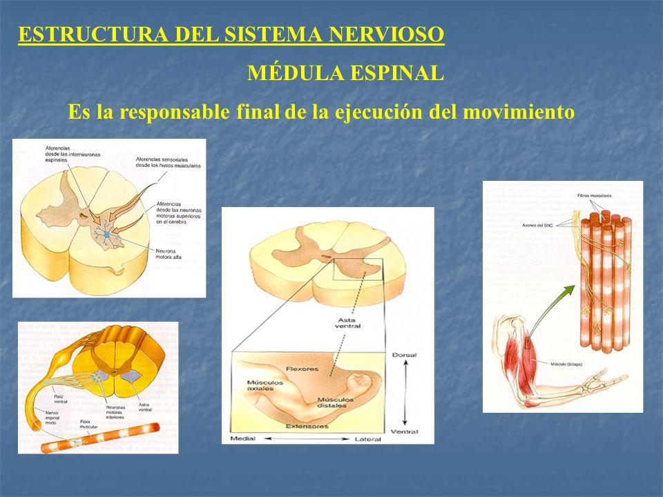 MÉDULA ESPINAL Es la responsable final de la ejecución del movimiento ESTRUCTURA DEL SISTEMA NERVIOSO
