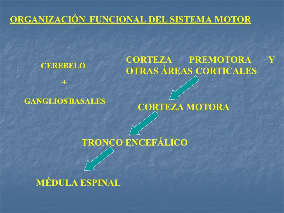 ORGANIZACIÓN FUNCIONAL DEL SISTEMA MOTOR MÉDULA ESPINAL TRONCO ENCEFÁLICO CORTEZA MOTORA CORTEZA PREMOTORA Y OTRAS ÁREAS CORTICALES + CEREBELO GANGLIO