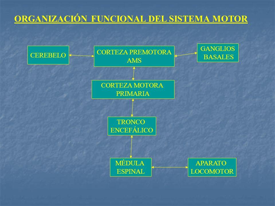 ORGANIZACIÓN FUNCIONAL DEL SISTEMA MOTOR CEREBELO GANGLIOS BASALES CORTEZA PREMOTORA AMS CORTEZA MOTORA PRIMARIA TRONCO ENCEFÁLICO MÉDULA ESPINAL APAR