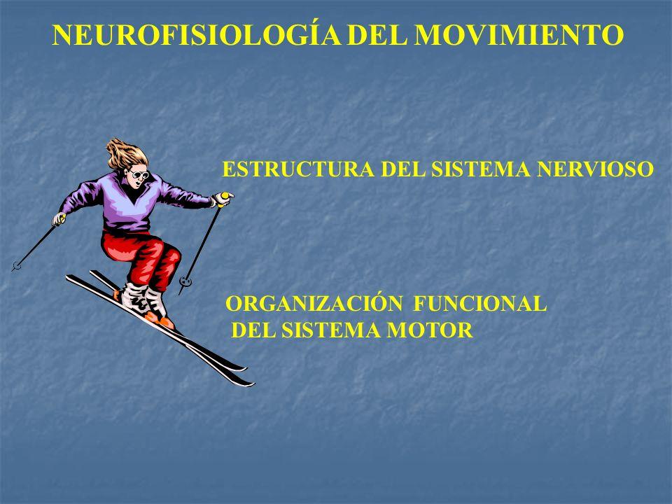 NEUROFISIOLOGÍA DEL MOVIMIENTO ESTRUCTURA DEL SISTEMA NERVIOSO ORGANIZACIÓN FUNCIONAL DEL SISTEMA MOTOR