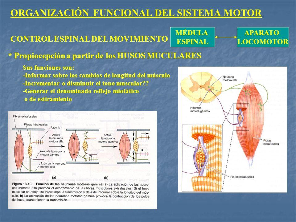 ORGANIZACIÓN FUNCIONAL DEL SISTEMA MOTOR MÉDULA ESPINAL APARATO LOCOMOTOR CONTROL ESPINAL DEL MOVIMIENTO * Propiocepción a partir de los HUSOS MUCULAR