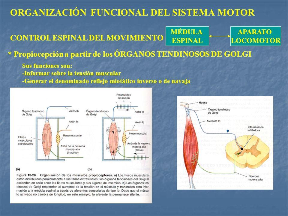 ORGANIZACIÓN FUNCIONAL DEL SISTEMA MOTOR MÉDULA ESPINAL APARATO LOCOMOTOR CONTROL ESPINAL DEL MOVIMIENTO * Propiocepción a partir de los ÓRGANOS TENDI