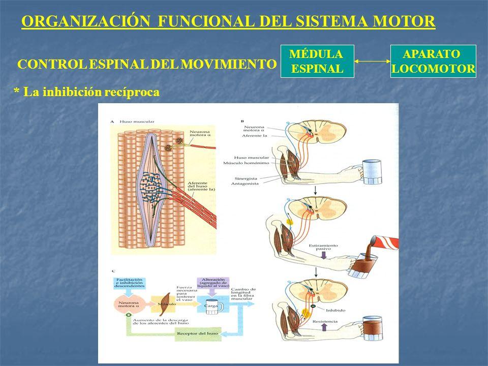 ORGANIZACIÓN FUNCIONAL DEL SISTEMA MOTOR MÉDULA ESPINAL APARATO LOCOMOTOR CONTROL ESPINAL DEL MOVIMIENTO * La inhibición recíproca