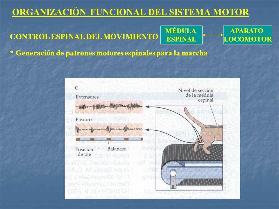 ORGANIZACIÓN FUNCIONAL DEL SISTEMA MOTOR MÉDULA ESPINAL APARATO LOCOMOTOR CONTROL ESPINAL DEL MOVIMIENTO * Generación de patrones motores espinales pa
