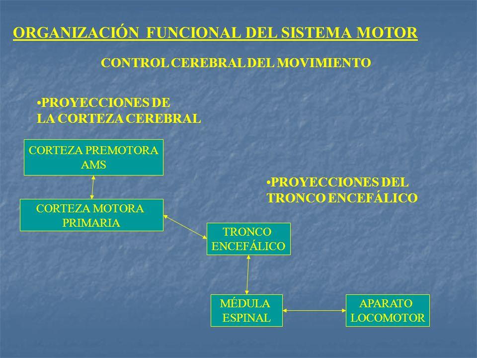 ORGANIZACIÓN FUNCIONAL DEL SISTEMA MOTOR CONTROL CEREBRAL DEL MOVIMIENTO PROYECCIONES DEL TRONCO ENCEFÁLICO PROYECCIONES DE LA CORTEZA CEREBRAL TRONCO