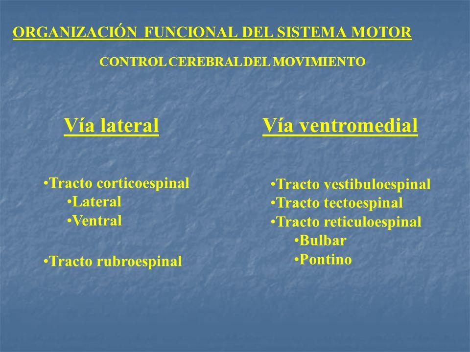 ORGANIZACIÓN FUNCIONAL DEL SISTEMA MOTOR CONTROL CEREBRAL DEL MOVIMIENTO Vía lateralVía ventromedial Tracto corticoespinal Lateral Ventral Tracto rubr