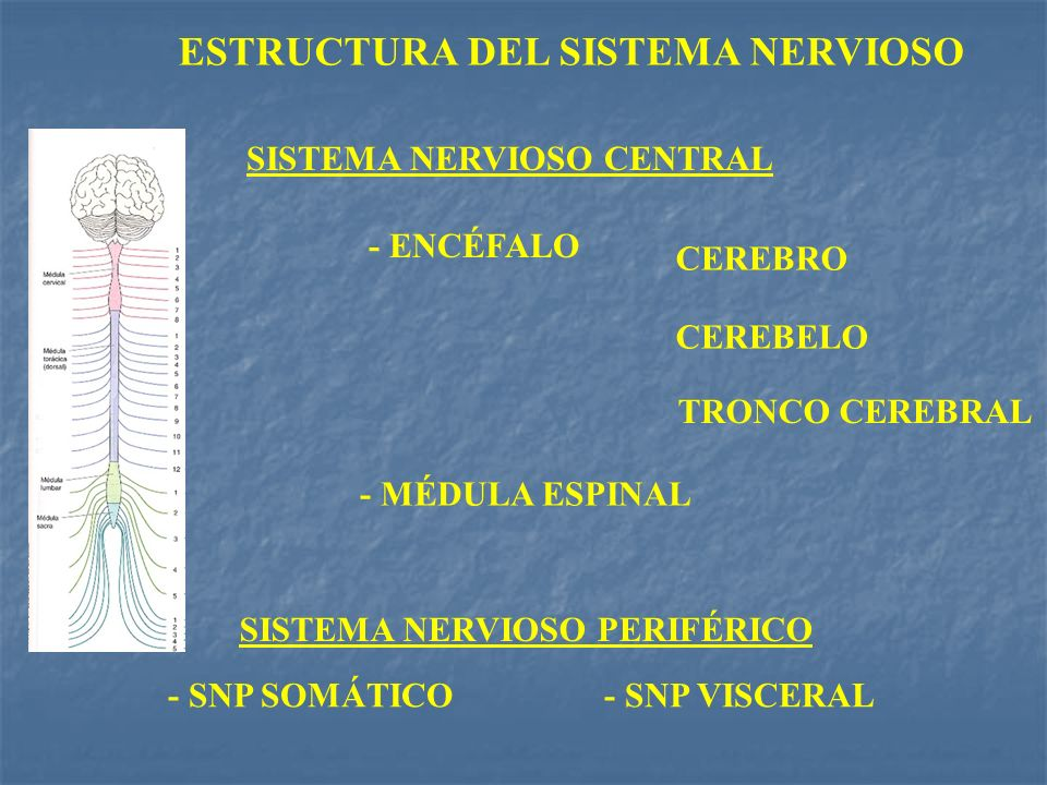 ESTRUCTURA DEL SISTEMA NERVIOSO SISTEMA NERVIOSO CENTRAL SISTEMA NERVIOSO PERIFÉRICO - ENCÉFALO - MÉDULA ESPINAL TRONCO CEREBRAL CEREBRO CEREBELO - SN