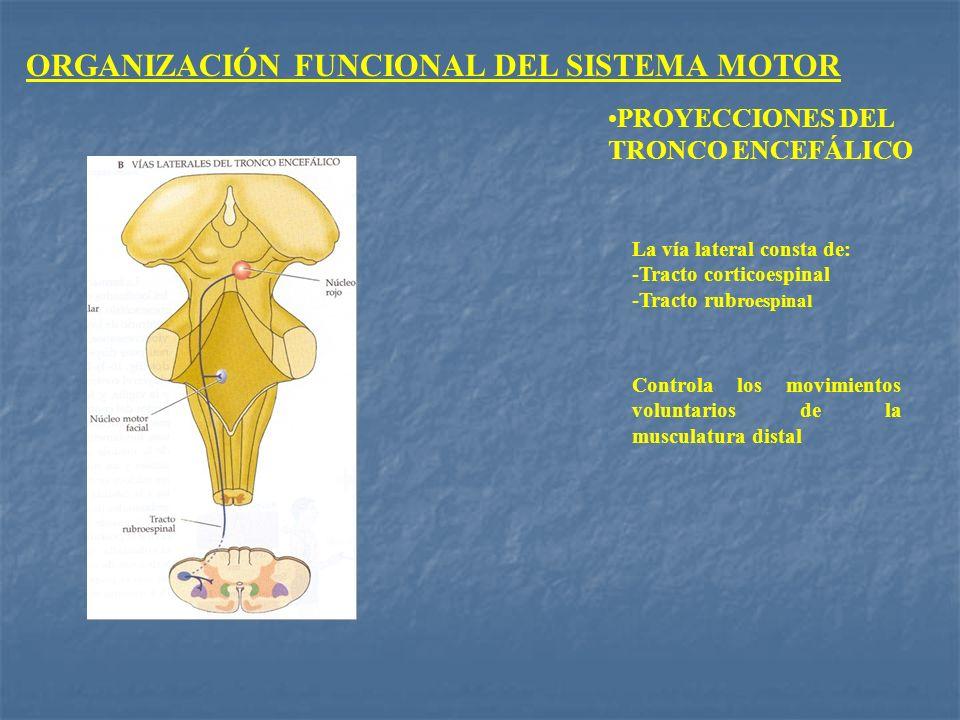 ORGANIZACIÓN FUNCIONAL DEL SISTEMA MOTOR PROYECCIONES DEL TRONCO ENCEFÁLICO La vía lateral consta de: -Tracto corticoespinal -Tracto rub roespinal Con