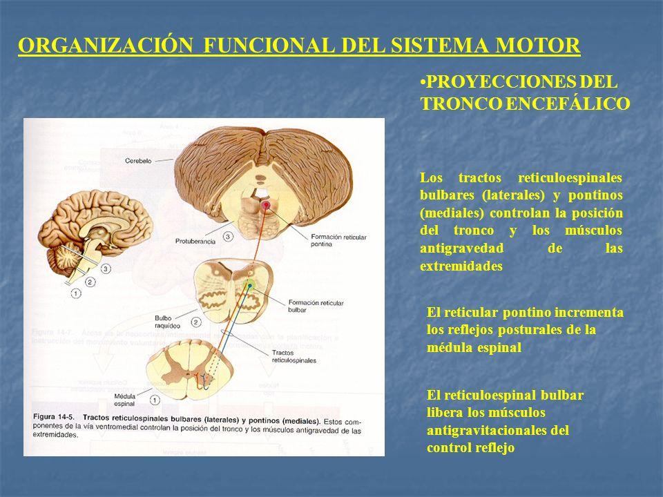 ORGANIZACIÓN FUNCIONAL DEL SISTEMA MOTOR PROYECCIONES DEL TRONCO ENCEFÁLICO Los tractos reticuloespinales bulbares (laterales) y pontinos (mediales) c