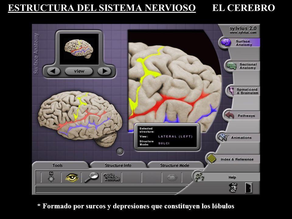 ESTRUCTURA DEL SISTEMA NERVIOSOEL CEREBRO * Formado por surcos y depresiones que constituyen los lóbulos