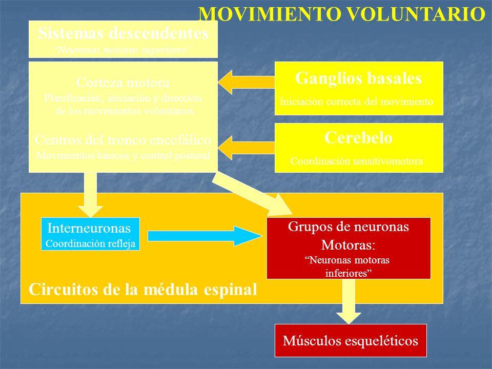 Sistemas descendentes Neuronas motoras superiores Corteza motora Planificación, iniciación y dirección de los movimientos voluntarios Centros del tron