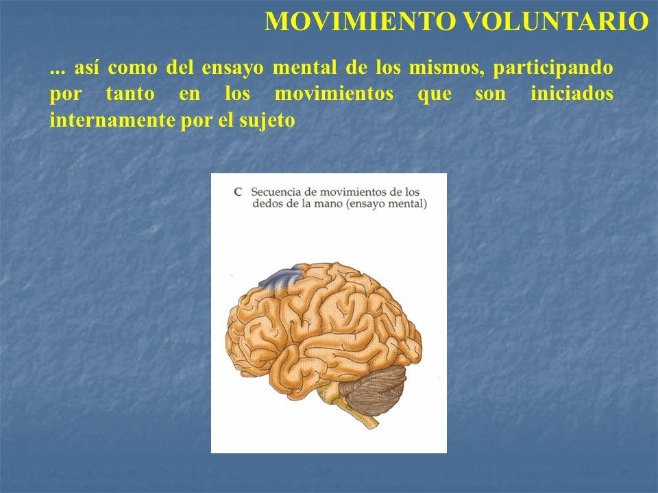 ... así como del ensayo mental de los mismos, participando por tanto en los movimientos que son iniciados internamente por el sujeto MOVIMIENTO VOLUNT