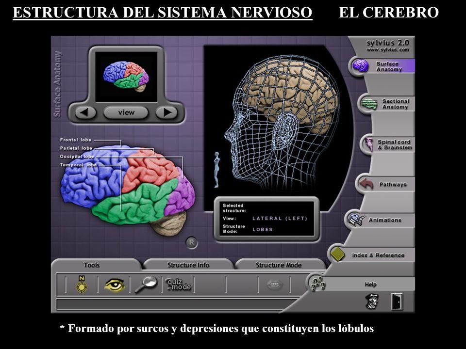 ESTRUCTURA DEL SISTEMA NERVIOSOEL CEREBRO * Formado por la neocorteza y estructuras subcorticales
