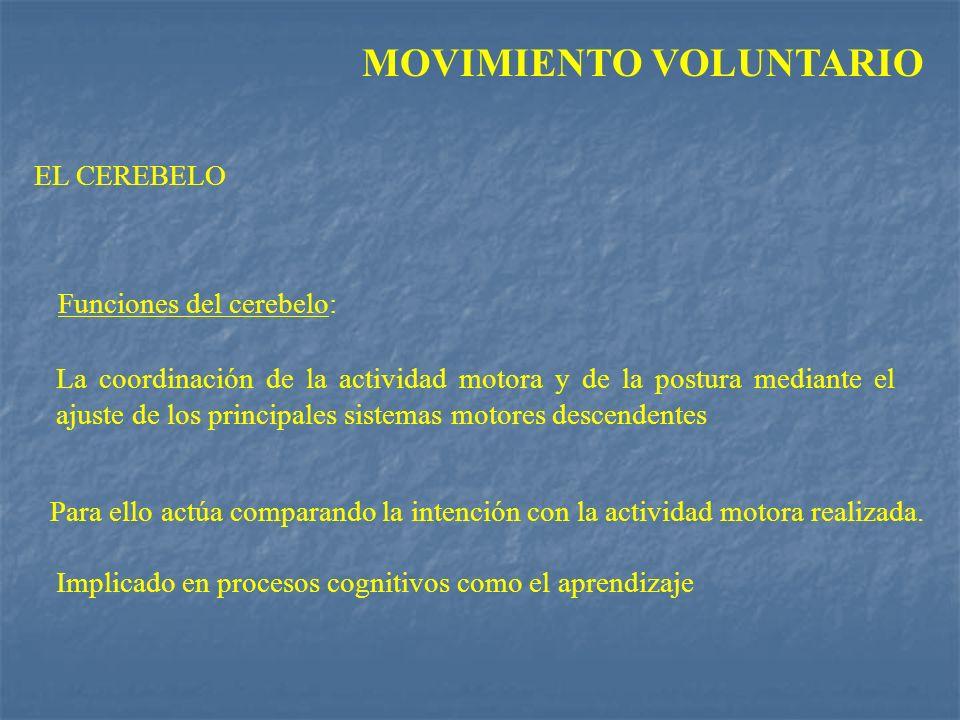 MOVIMIENTO VOLUNTARIO Funciones del cerebelo: La coordinación de la actividad motora y de la postura mediante el ajuste de los principales sistemas mo