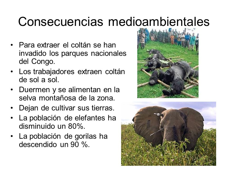 Consecuencias medioambientales Para extraer el coltán se han invadido los parques nacionales del Congo.