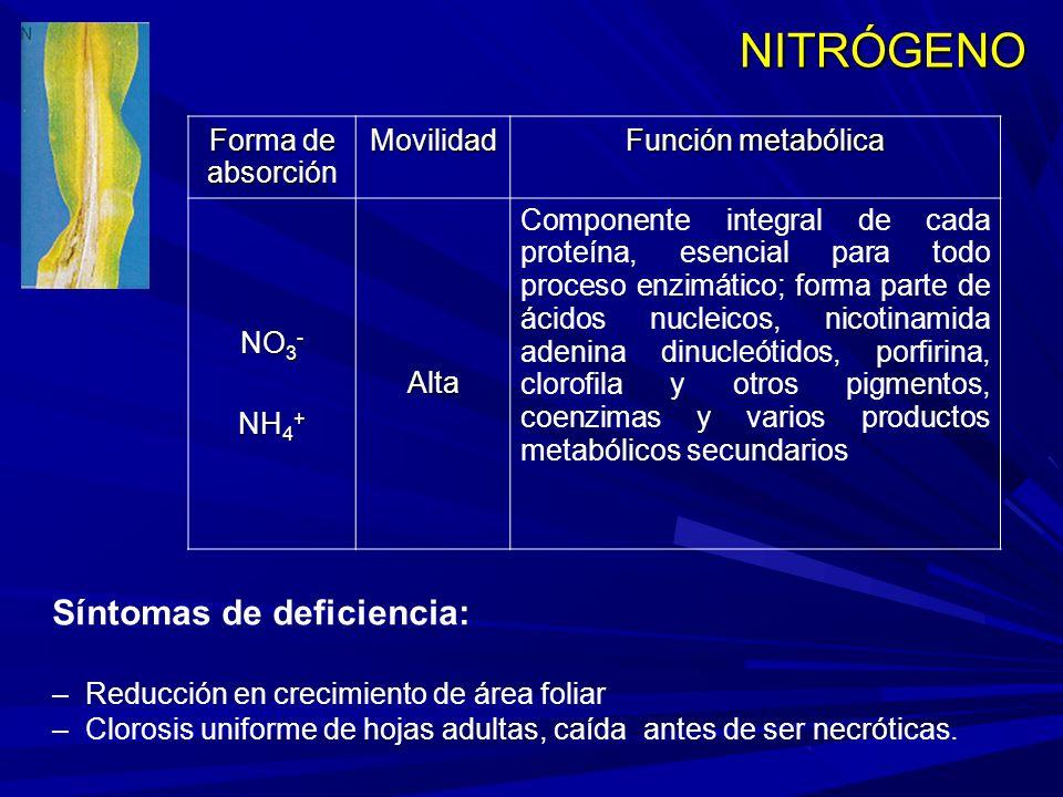 NITRÓGENO Forma de absorción Movilidad Función metabólica NO 3 - NH 4 + Alta Componente integral de cada proteína, esencial para todo proceso enzimático; forma parte de ácidos nucleicos, nicotinamida adenina dinucleótidos, porfirina, clorofila y otros pigmentos, coenzimas y varios productos metabólicos secundarios Síntomas de deficiencia: – Reducción en crecimiento de área foliar – Clorosis uniforme de hojas adultas, caída antes de ser necróticas.