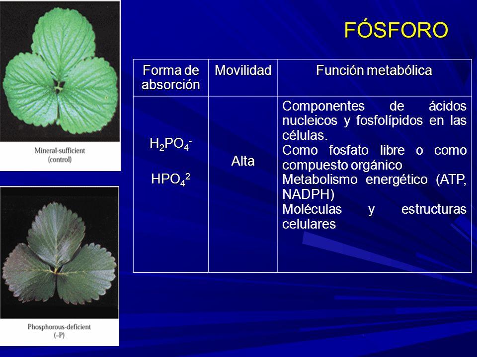 Forma de absorción Movilidad Función metabólica H 2 PO 4 - HPO 4 2 Alta Componentes de ácidos nucleicos y fosfolípidos en las células.