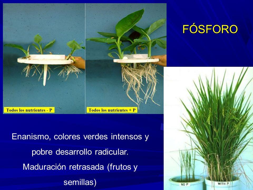 FÓSFORO Enanismo, colores verdes intensos y pobre desarrollo radicular.