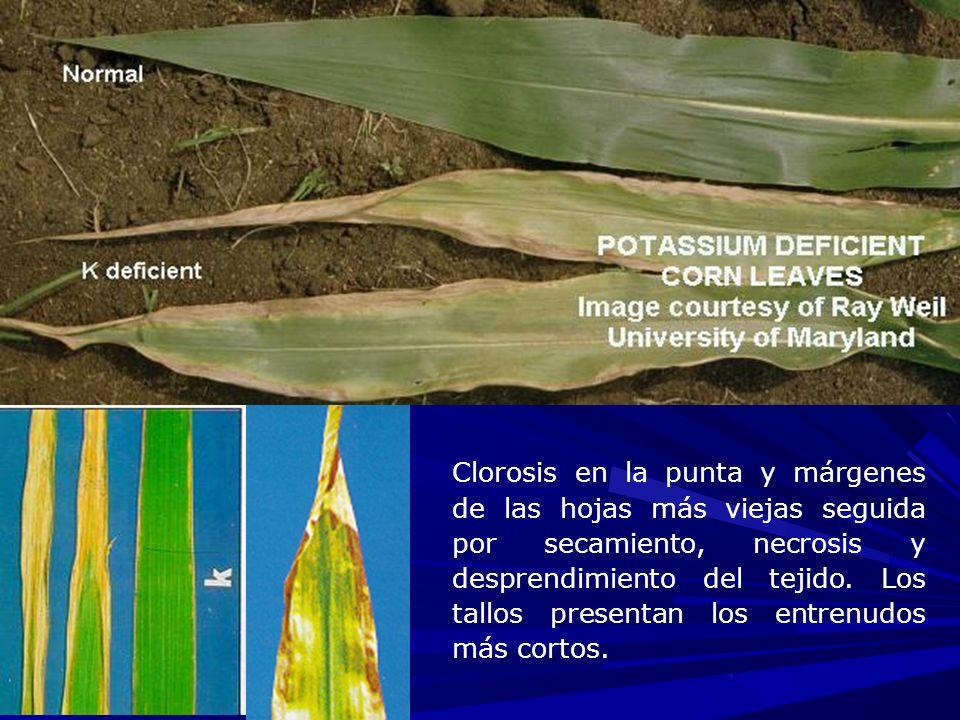 Clorosis en la punta y márgenes de las hojas más viejas seguida por secamiento, necrosis y desprendimiento del tejido.