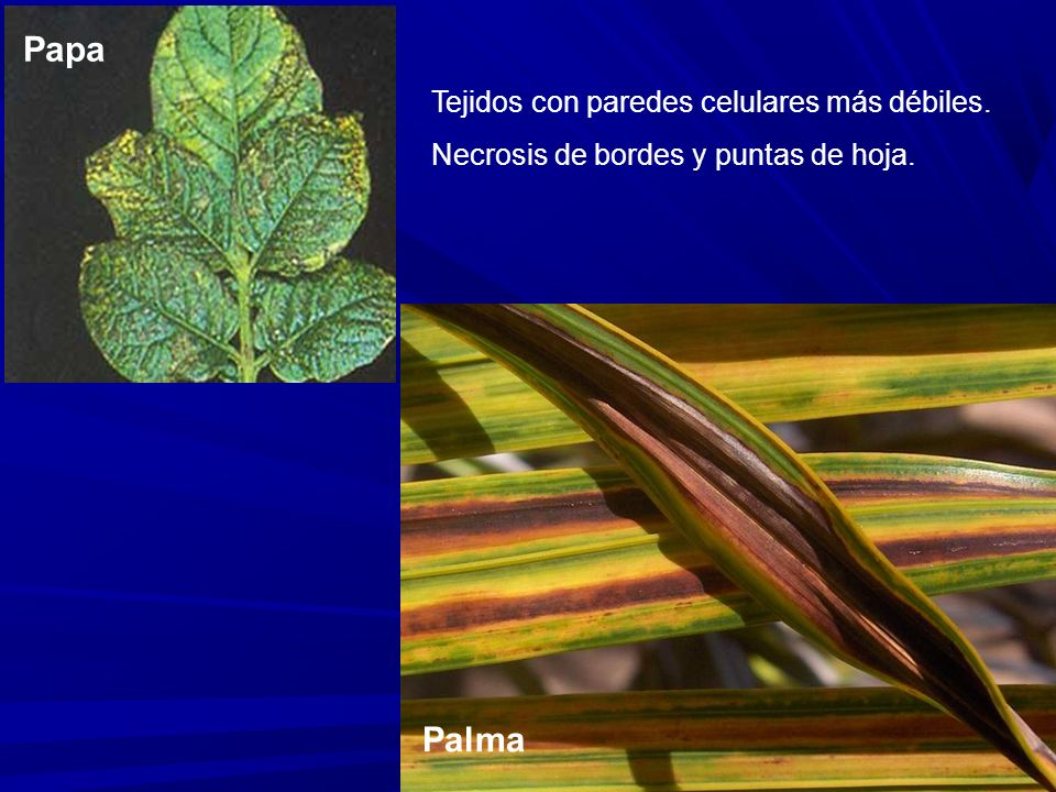 Papa Palma Tejidos con paredes celulares más débiles. Necrosis de bordes y puntas de hoja.