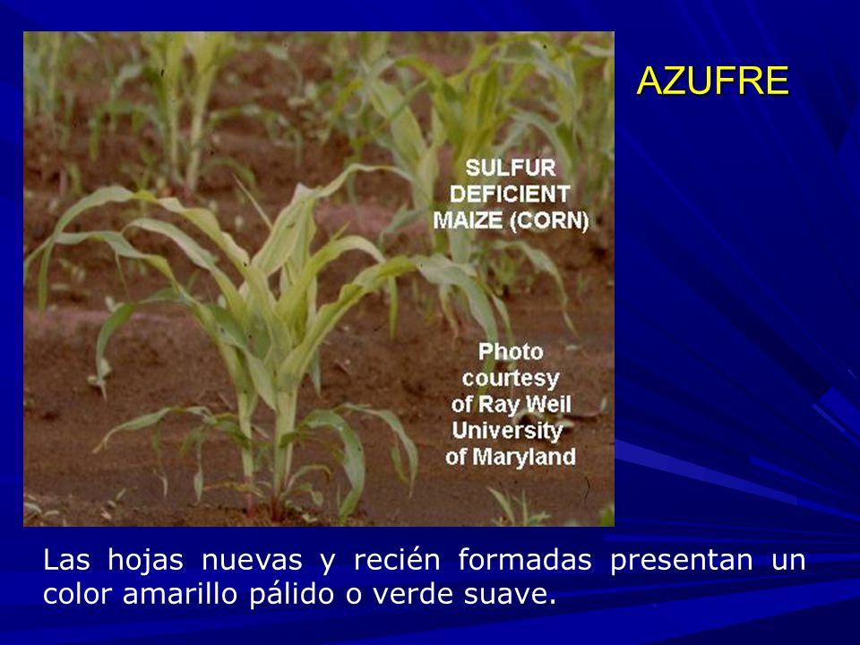 AZUFRE Las hojas nuevas y recién formadas presentan un color amarillo pálido o verde suave.