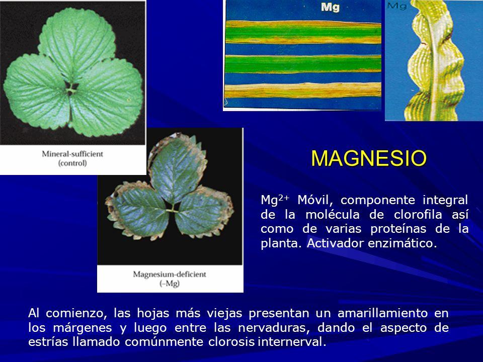 Al comienzo, las hojas más viejas presentan un amarillamiento en los márgenes y luego entre las nervaduras, dando el aspecto de estrías llamado comúnmente clorosis internerval.