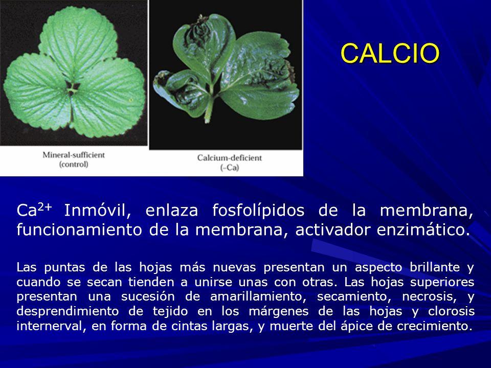 CALCIO Ca 2+ Inmóvil, enlaza fosfolípidos de la membrana, funcionamiento de la membrana, activador enzimático.
