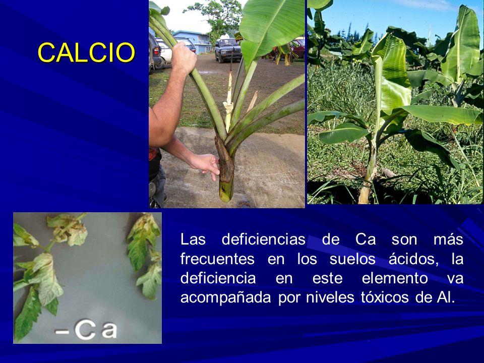 Las deficiencias de Ca son más frecuentes en los suelos ácidos, la deficiencia en este elemento va acompañada por niveles tóxicos de Al.