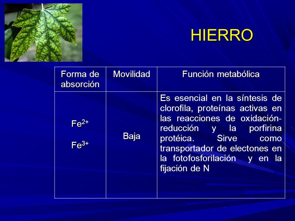 HIERRO Forma de absorción Movilidad Función metabólica Fe 2+ Fe 3+ Baja Es esencial en la síntesis de clorofila, proteínas activas en las reacciones de oxidación- reducción y la porfirina protéica.