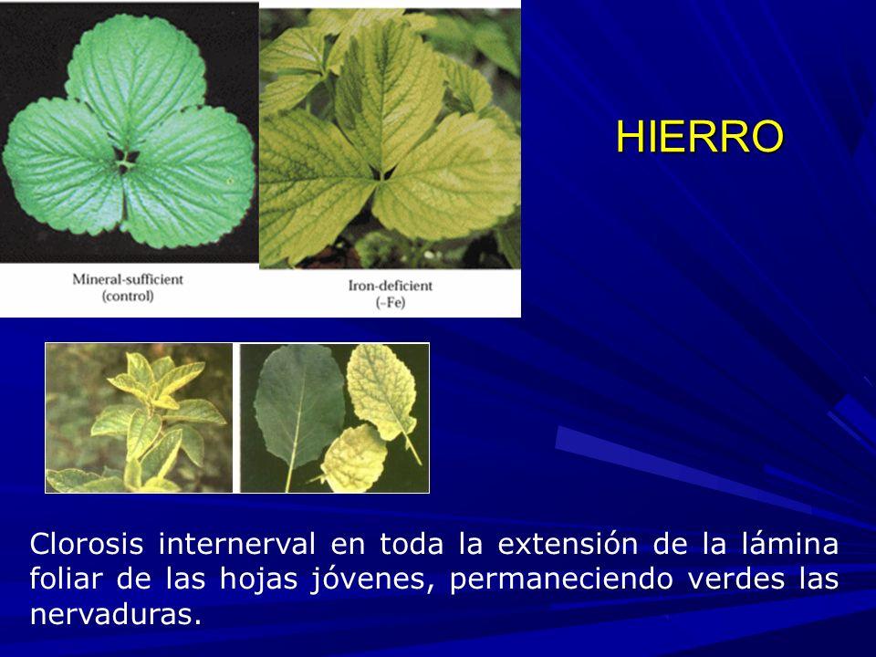 HIERRO Clorosis internerval en toda la extensión de la lámina foliar de las hojas jóvenes, permaneciendo verdes las nervaduras.