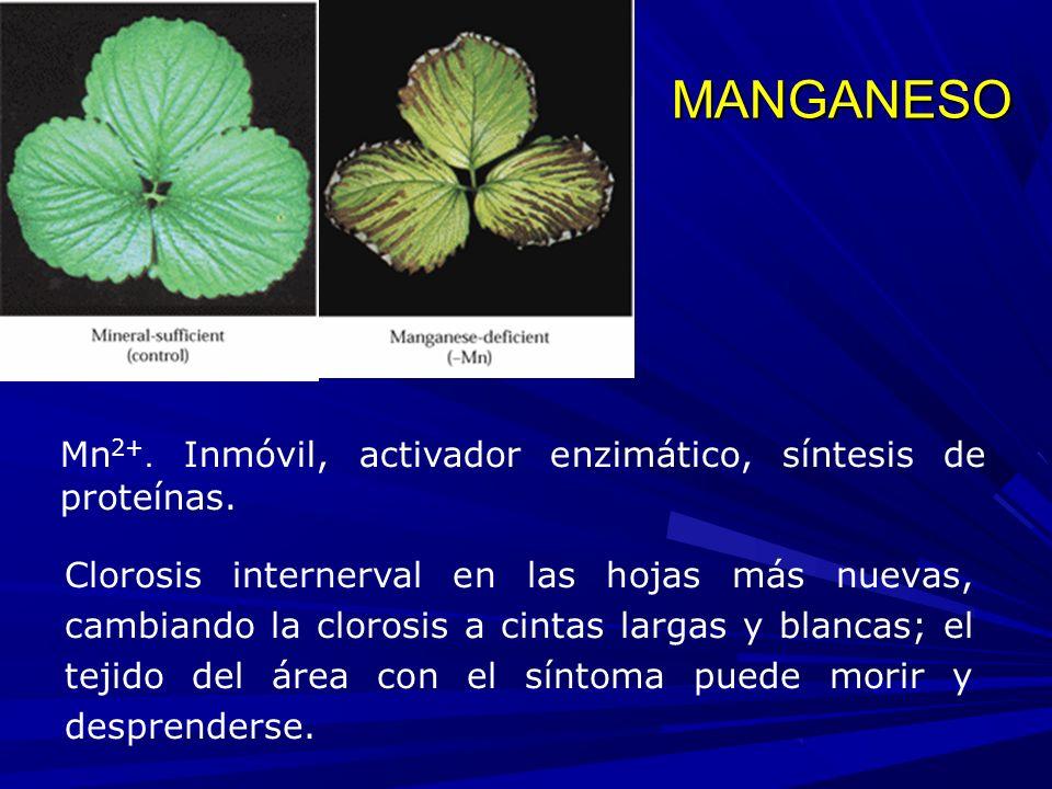 Clorosis internerval en las hojas más nuevas, cambiando la clorosis a cintas largas y blancas; el tejido del área con el síntoma puede morir y desprenderse.
