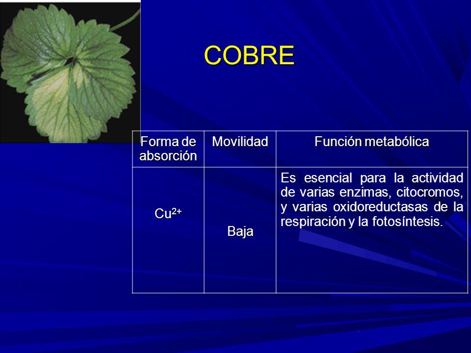 COBRE Forma de absorción Movilidad Función metabólica Cu 2+ Baja Es esencial para la actividad de varias enzimas, citocromos, y varias oxidoreductasas de la respiración y la fotosíntesis.