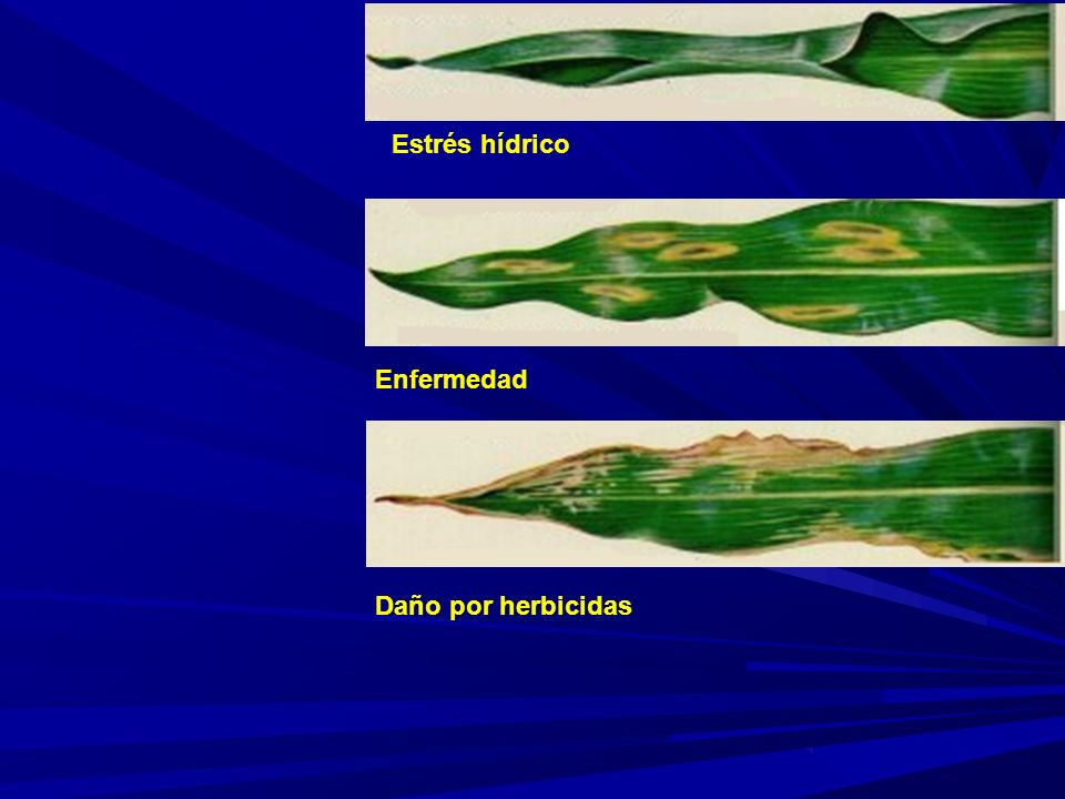 Estrés hídrico Enfermedad Daño por herbicidas