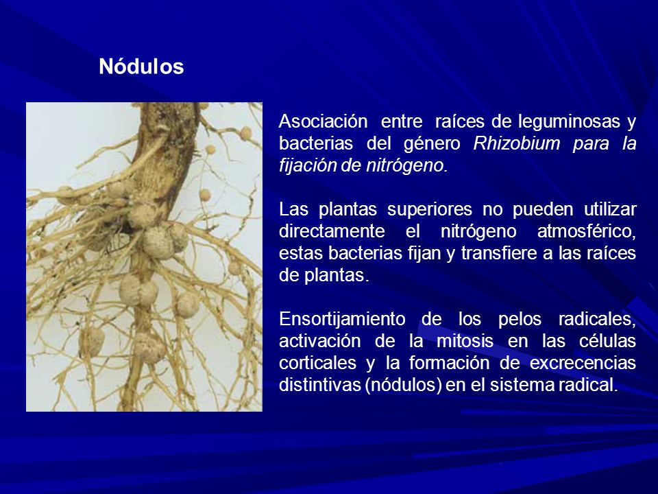 Nódulos Asociación entre raíces de leguminosas y bacterias del género Rhizobium para la fijación de nitrógeno.