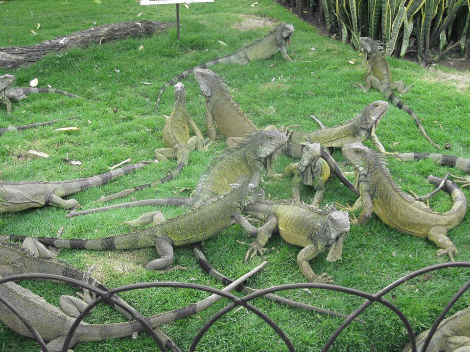 http://media-cdn.tripadvisor.com EL PARQUE DE LAS IGUANAS En el centro de la cuidad Construido en 1895 de una donación Cientos de iguanas verdes sudamericanas