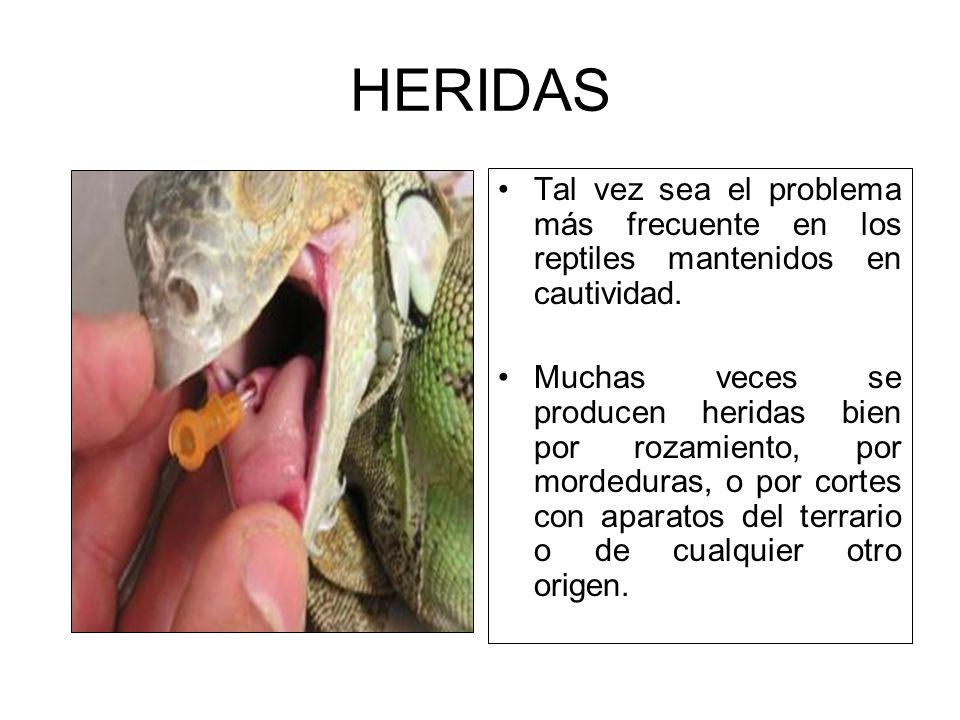 HERIDAS Tal vez sea el problema más frecuente en los reptiles mantenidos en cautividad. Muchas veces se producen heridas bien por rozamiento, por mord