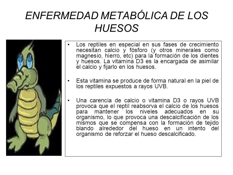 ENFERMEDAD METABÓLICA DE LOS HUESOS Los reptiles en especial en sus fases de crecimiento necesitan calcio y fósforo (y otros minerales como magnesio,