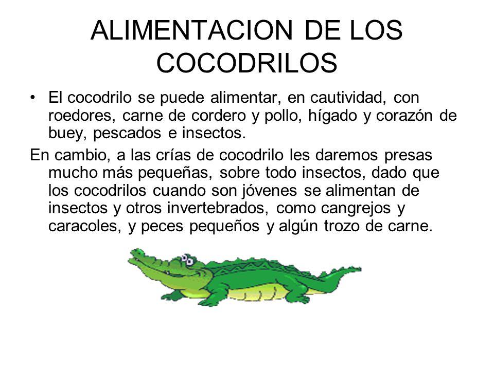 ALIMENTACION DE LOS COCODRILOS El cocodrilo se puede alimentar, en cautividad, con roedores, carne de cordero y pollo, hígado y corazón de buey, pesca