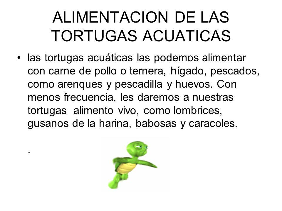 ALIMENTACION DE LAS TORTUGAS ACUATICAS las tortugas acuáticas las podemos alimentar con carne de pollo o ternera, hígado, pescados, como arenques y pe